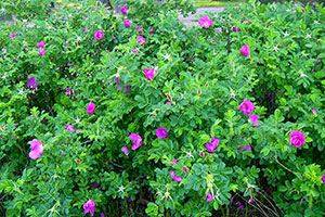 Hamanasu(Rosa Rugosa) on Shotenkyo