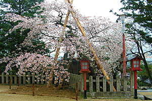 Gankozakura of Sannougu-Hiyoshi Shrine